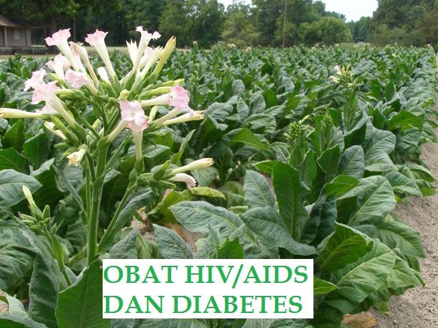 SUBHANALLAH... Ternyata Tembakau Ampuh Mengobati HIV/AIDS dan Diabetes Militus..